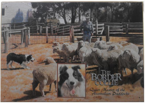 Blechschild Border Collie